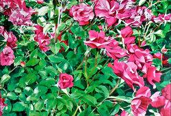 #92 Rose