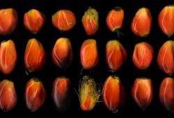 SAWIT Seeds