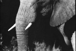 Conversation Between Elephant #3